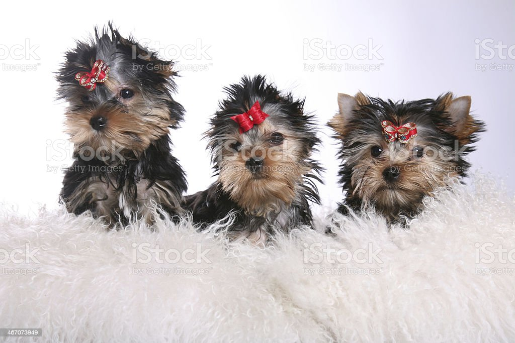 Three Young Yorkshire Terrier Puppies on pillows looking straight royalty-free stock photo
