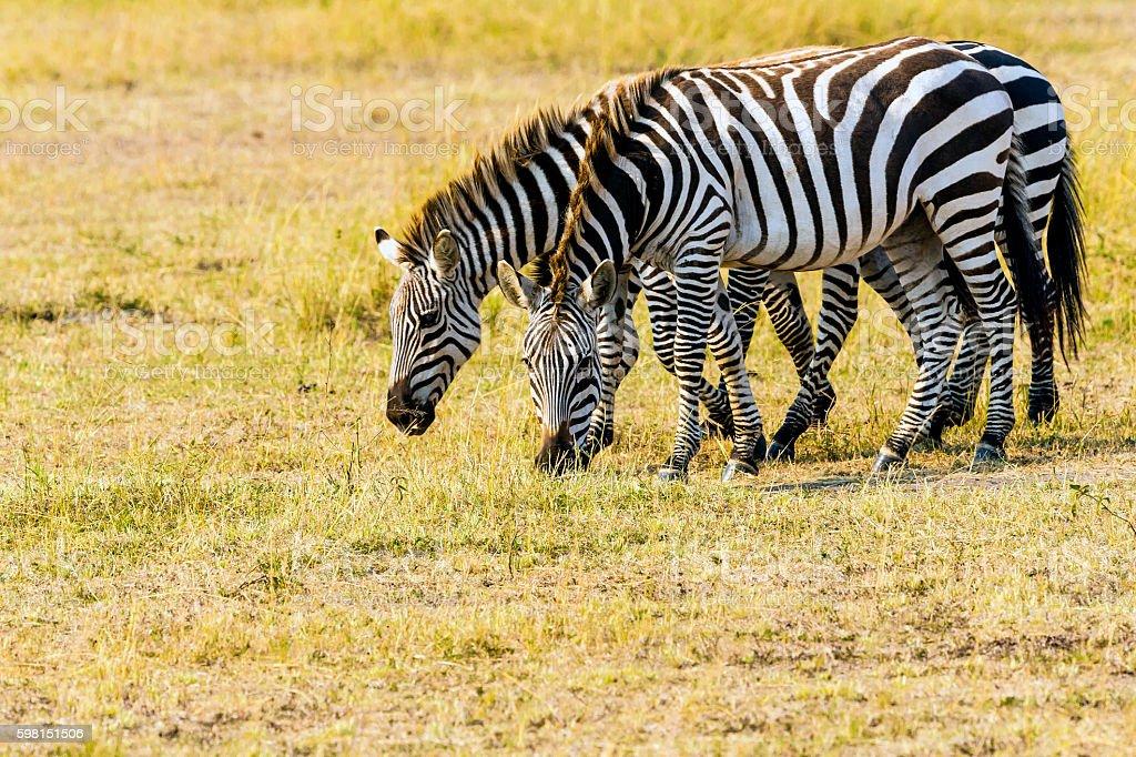Three Zebras at Savannah stock photo