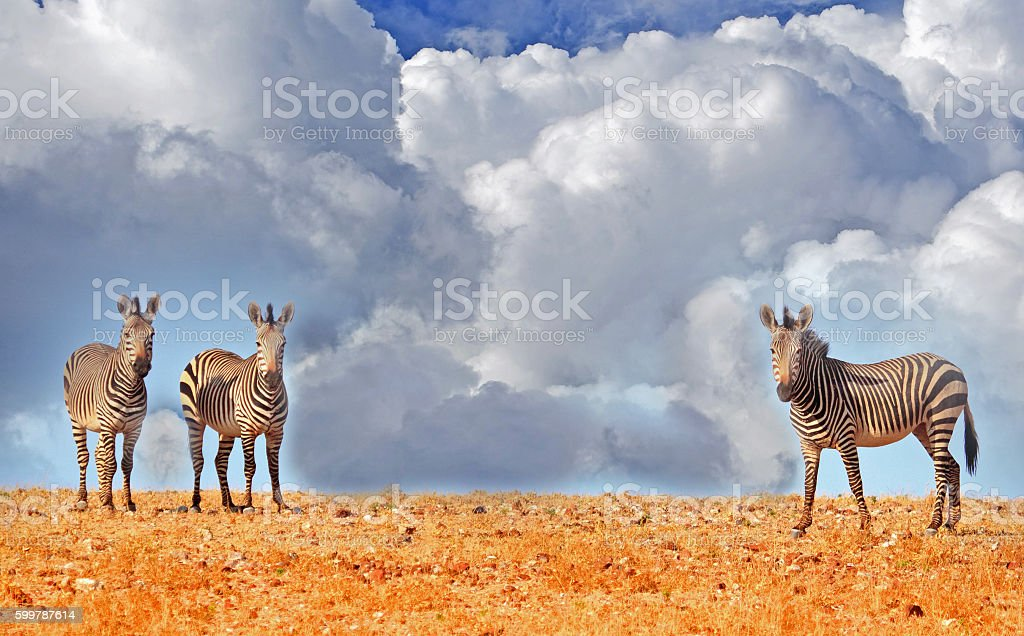 Three zebras standing on a hill. stock photo