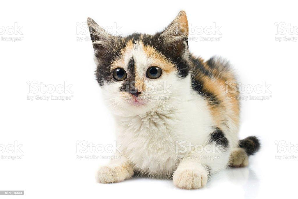 Three-colored kitty royalty-free stock photo