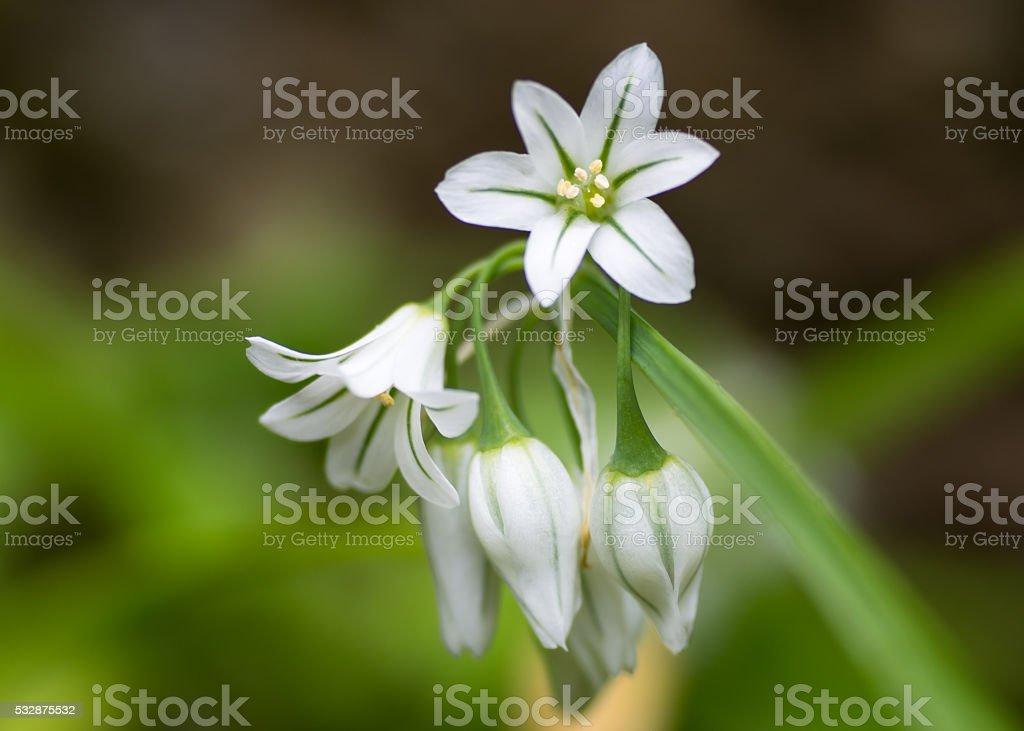 Three-cornered garlic (Allium triquetrum) in flower stock photo