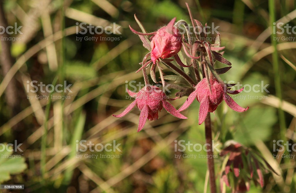 Three-Flowered Avens Sprouts Through Grass stock photo