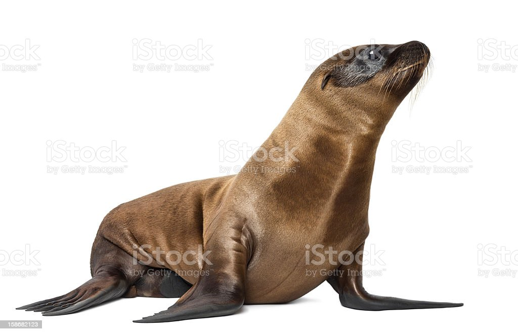 Three-month old California Sea Lion stock photo