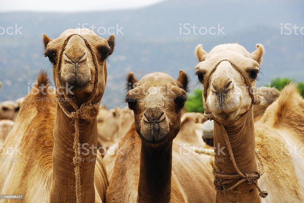 Three\tCamels (Ethiopia) stock photo