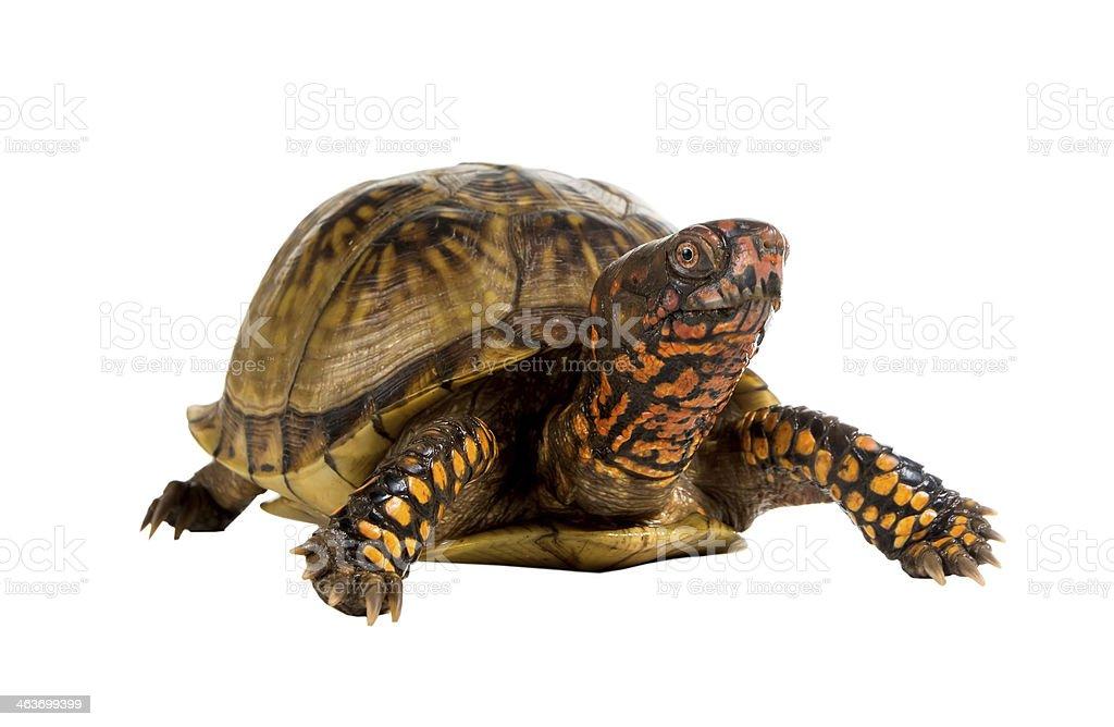 Three-toed Box Turtle (terrapene carolina triunguis) thinking wh stock photo