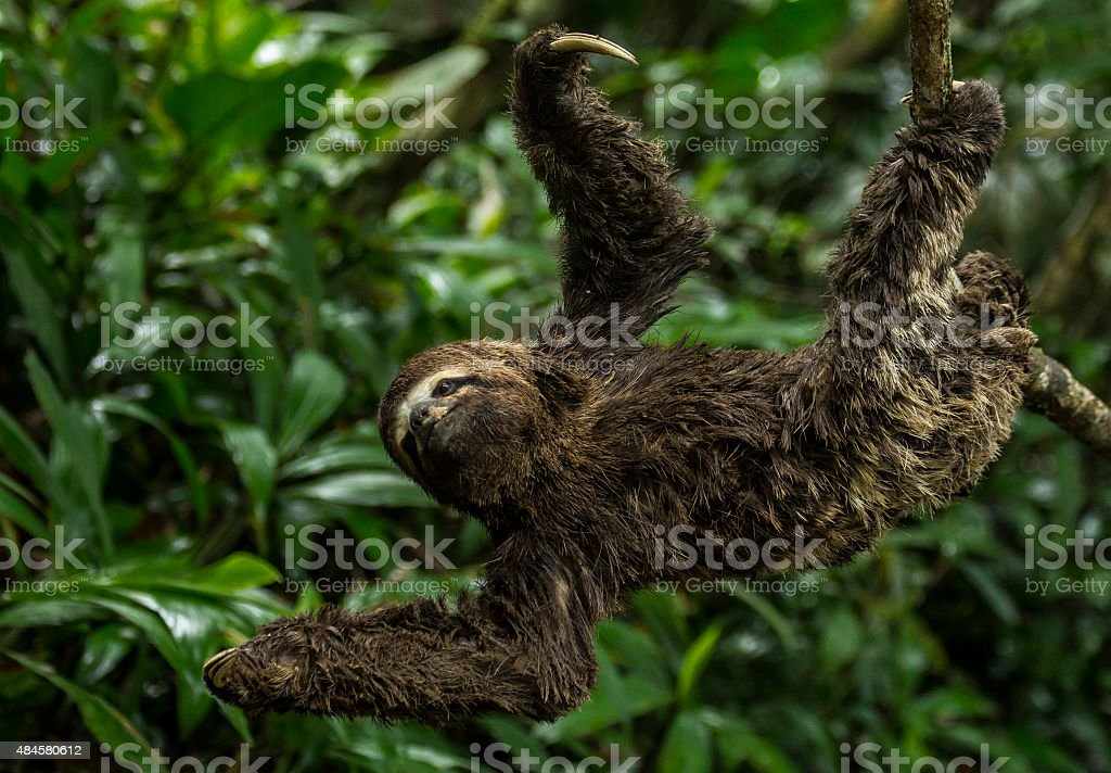 Three-toed Sloth in the rainforest stock photo