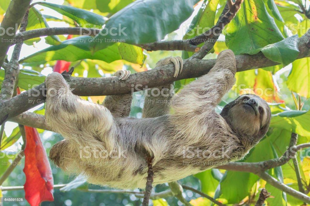 Three-toed sloth in Tree stock photo