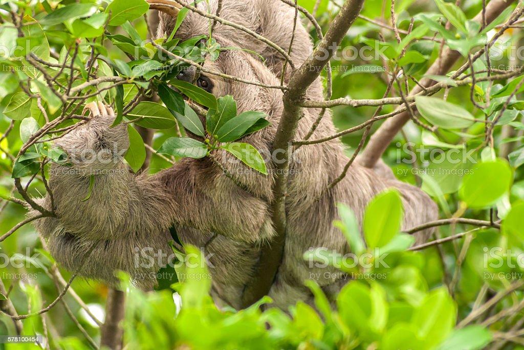 Three-toed sloth stock photo