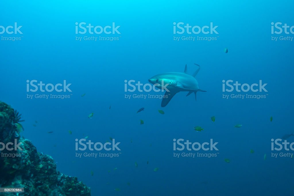 Thresher shark in profile, showing extremely long tail stock photo