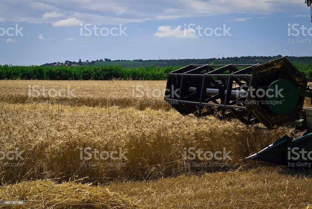 Threshing wheat in Puglia. stock photo