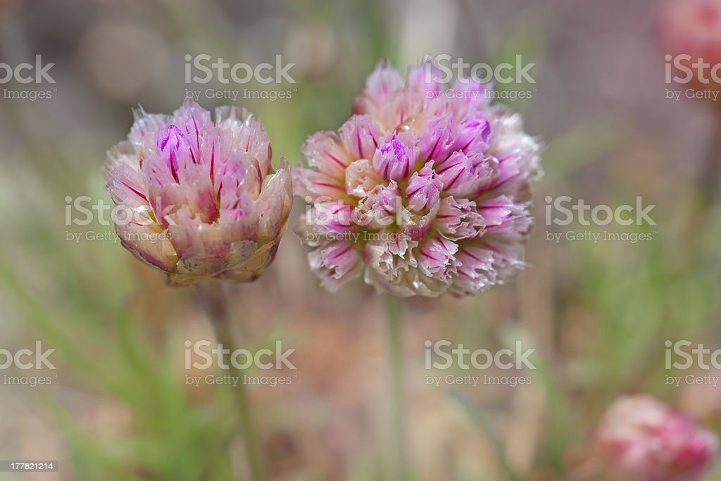 Thrift flower royalty-free stock photo