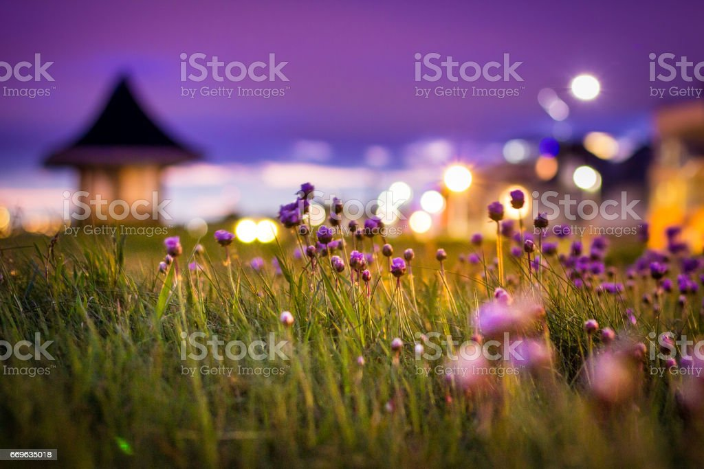 Thrift flowers under the lights of Southbourne Promenade after sunset stock photo