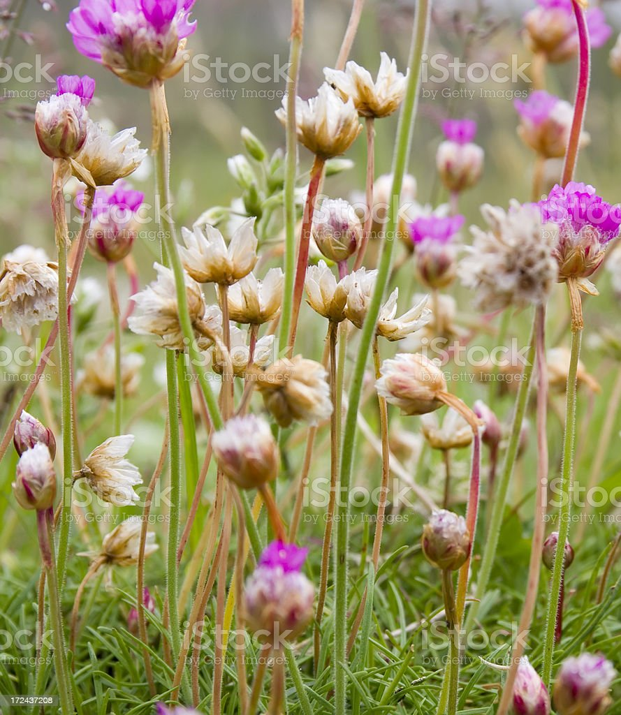 Thrift, Sea Pink (Ameria maritima) royalty-free stock photo