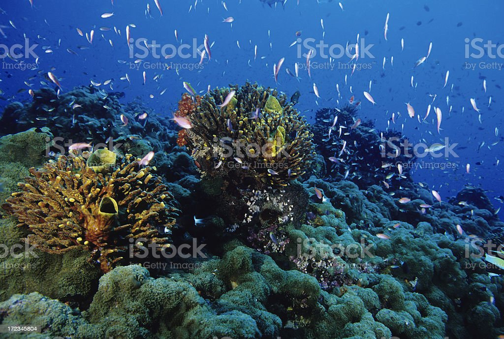 Thriving Coral Reef royalty-free stock photo