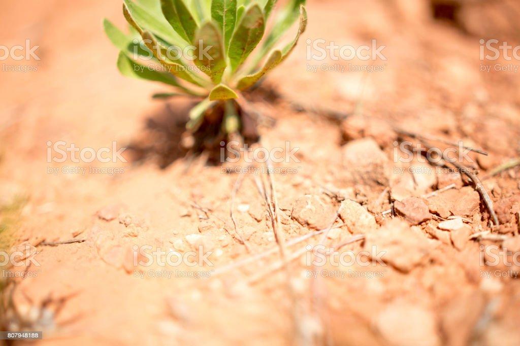 Thriving Succulent stock photo