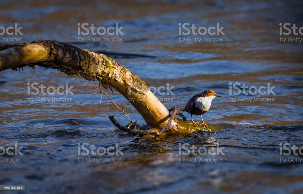 Throated dipper stock photo