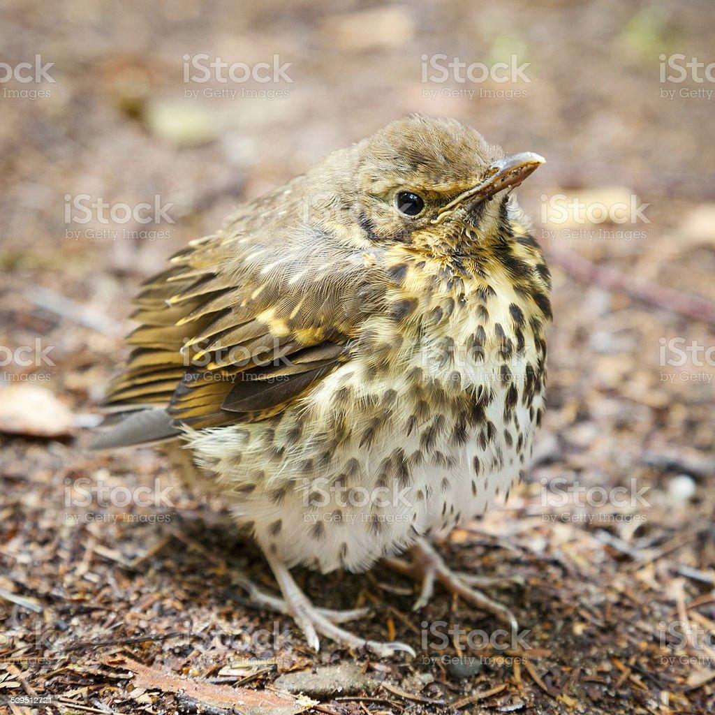 Throstle fledgling, song thrush on ground stock photo