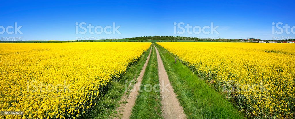 Through Fields of Rape IV stock photo