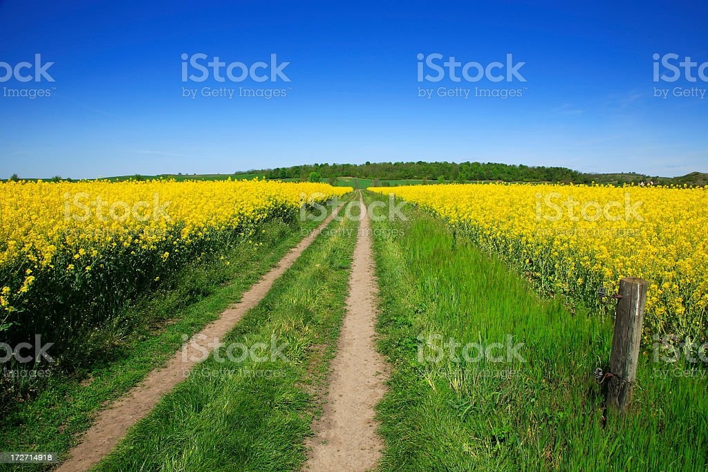 Through Fields of Rape royalty-free stock photo