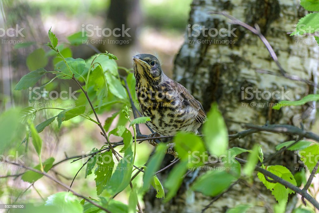 thrush chick fell out of nest in the forest stock photo