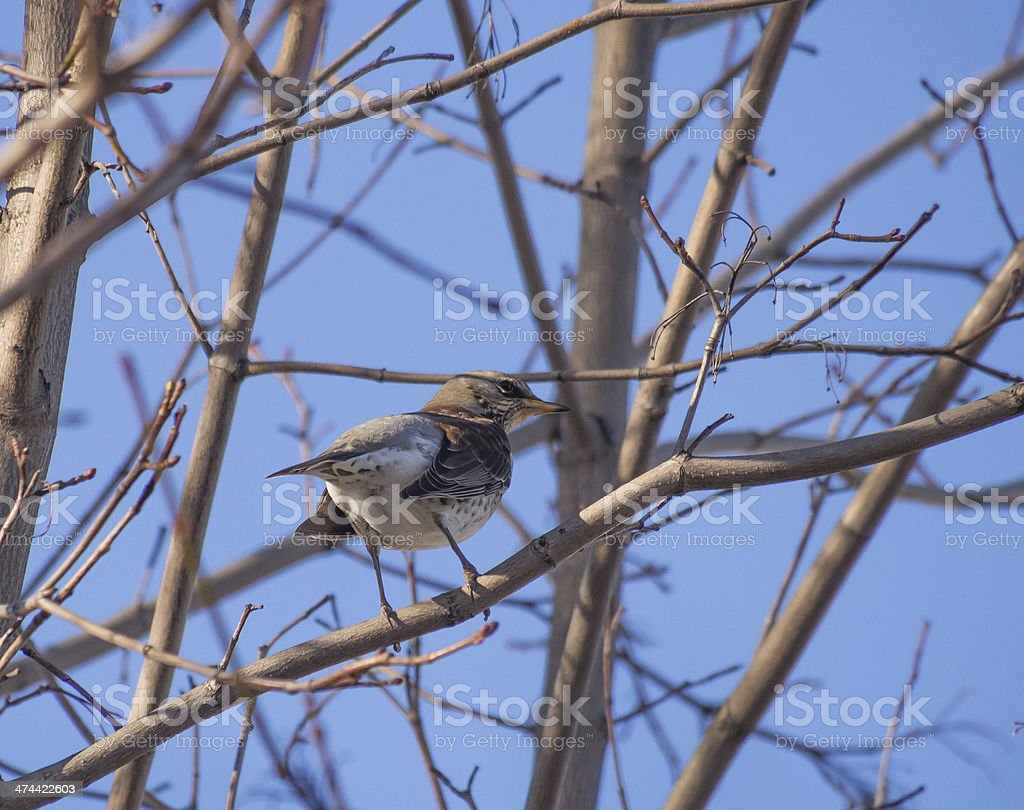 Thrush in the forest stock photo