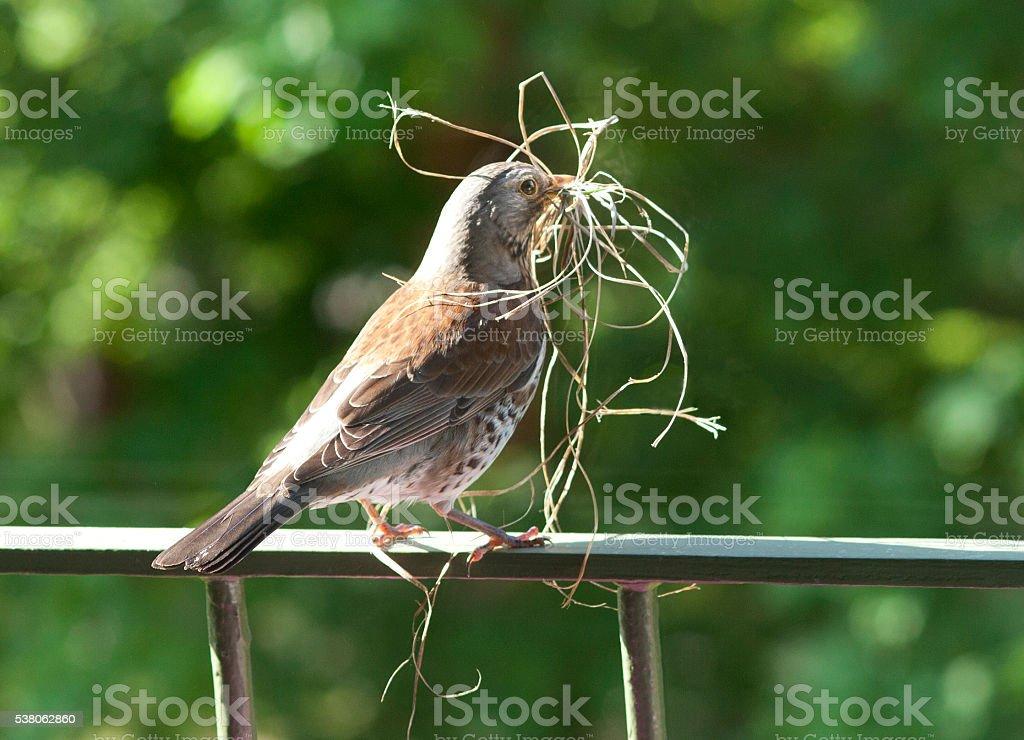 Thrush making birds nest stock photo