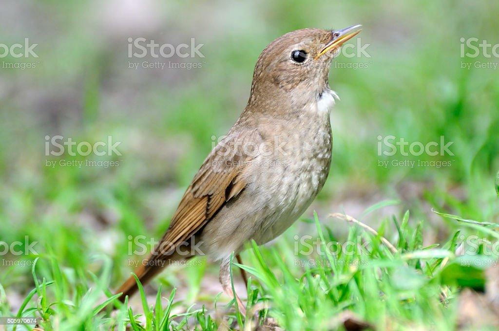 Thrush Nightingale in grass stock photo
