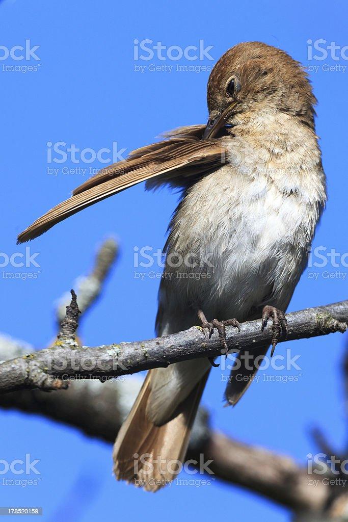Thrush Nightingale stock photo