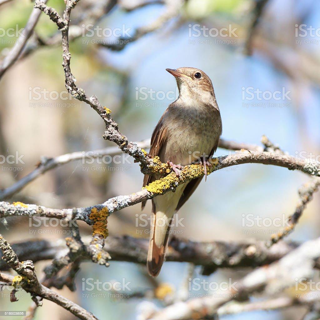 Thrush Nightingale (Luscinia luscinia) stock photo