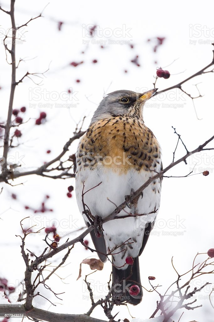 thrush on a tree stock photo