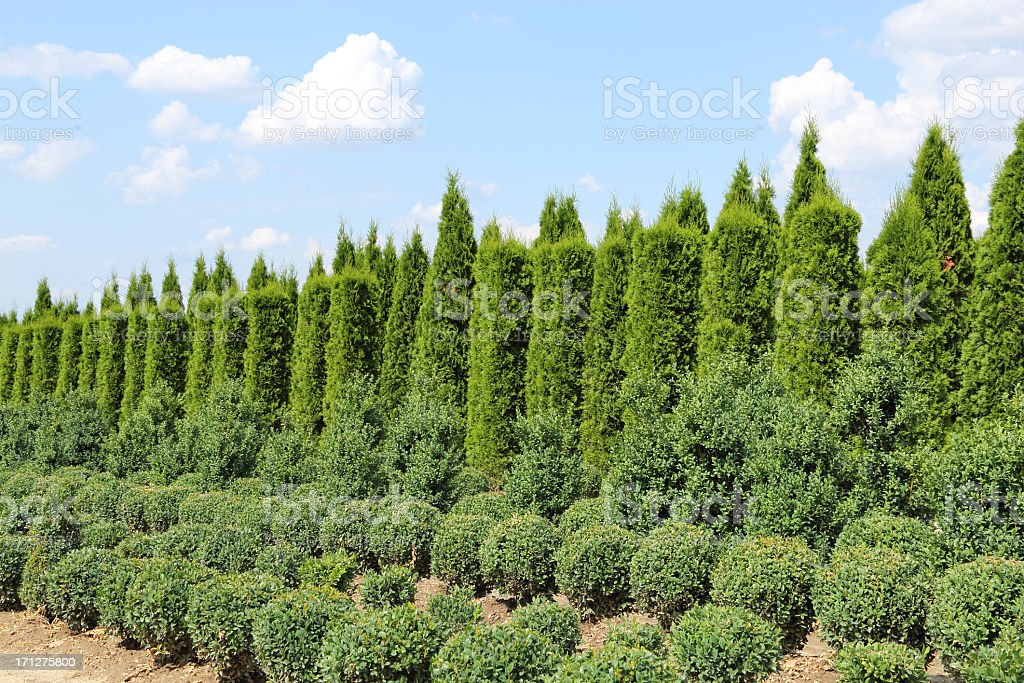 Thuja and buxus plants in a row royalty-free stock photo