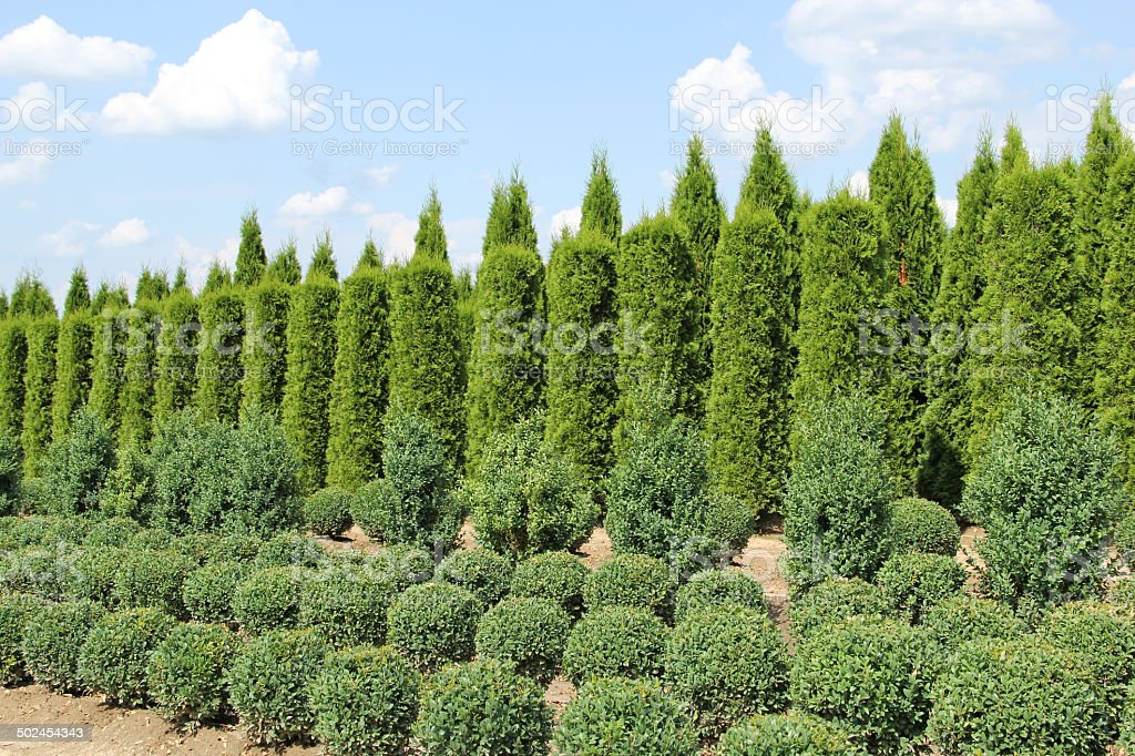 Thuja and buxus plants in a row stock photo
