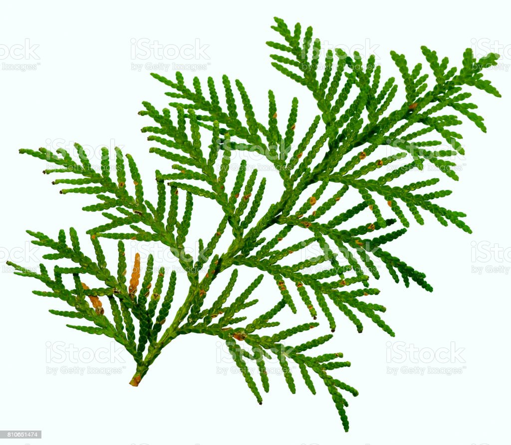 thuja branch isolated on white background stock photo