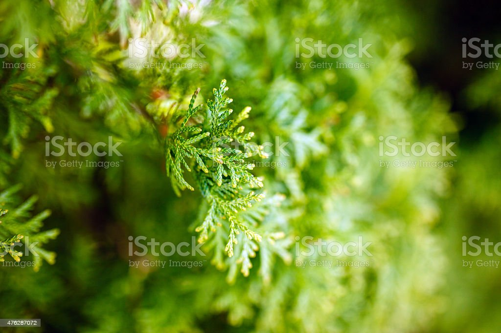 Thuja branches stock photo
