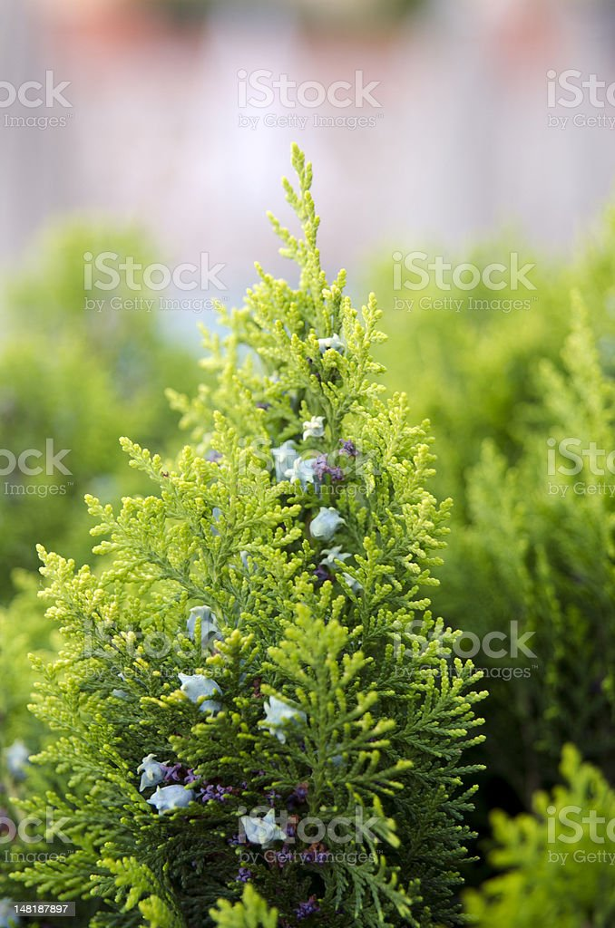 Thuja coniferous tree in the Cupressaceae family royalty-free stock photo
