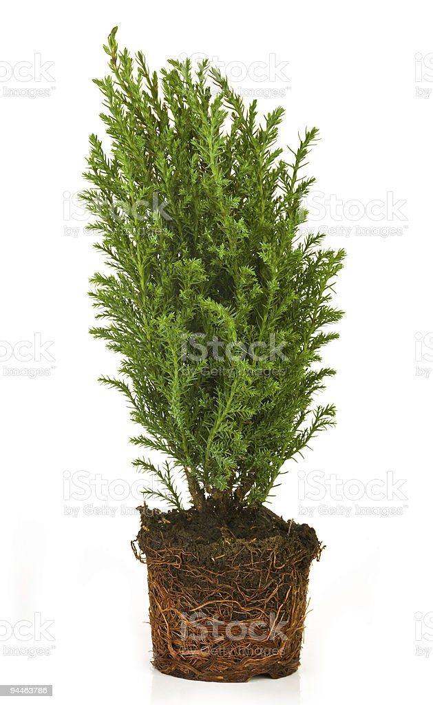 Thuja from a pot stock photo