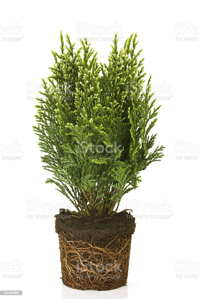 Thuja in a pot stock photo