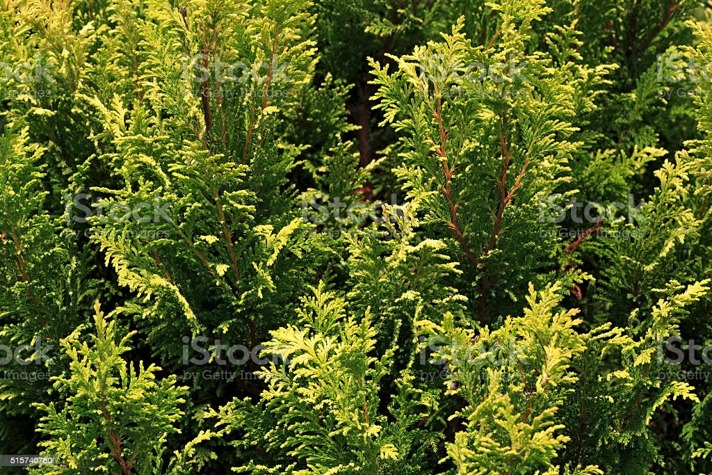 Thuja is a genus of coniferous trees in Cupressaceae stock photo