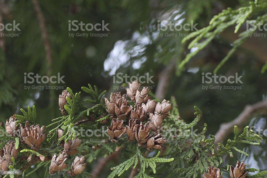Thuja occidentalis Cones stock photo