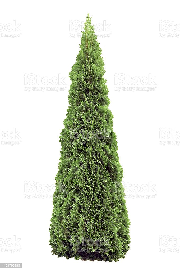Thuja occidentalis 'Smaragd', Warm Green American Arborvitae Occidental Wintergreen, Isolated stock photo