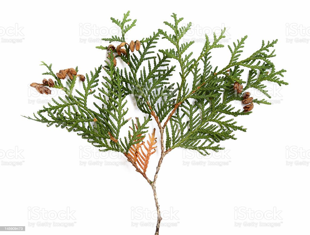 thuja royalty-free stock photo