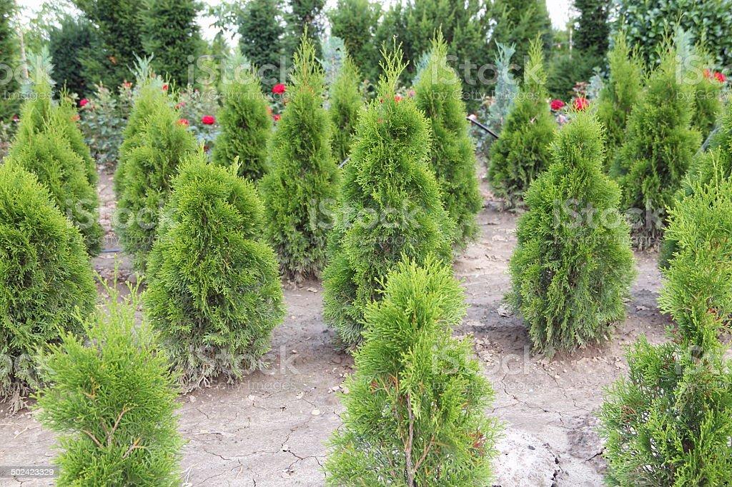 Thuja plants royalty-free stock photo