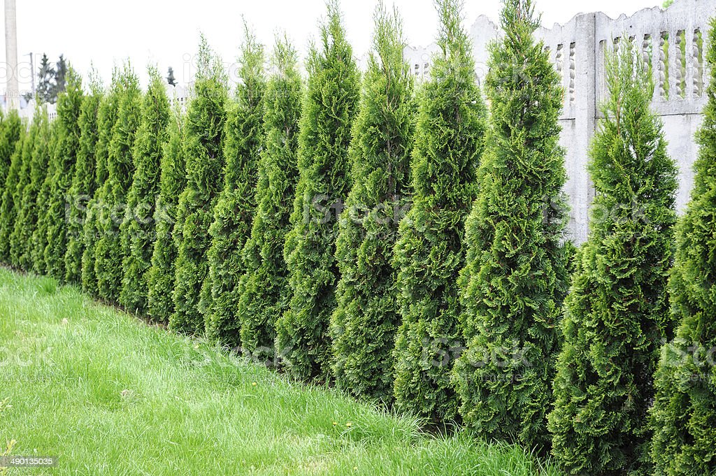 Thuja, row of trees in the garden stock photo
