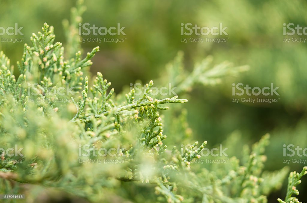 Thuja tree branches closeup stock photo