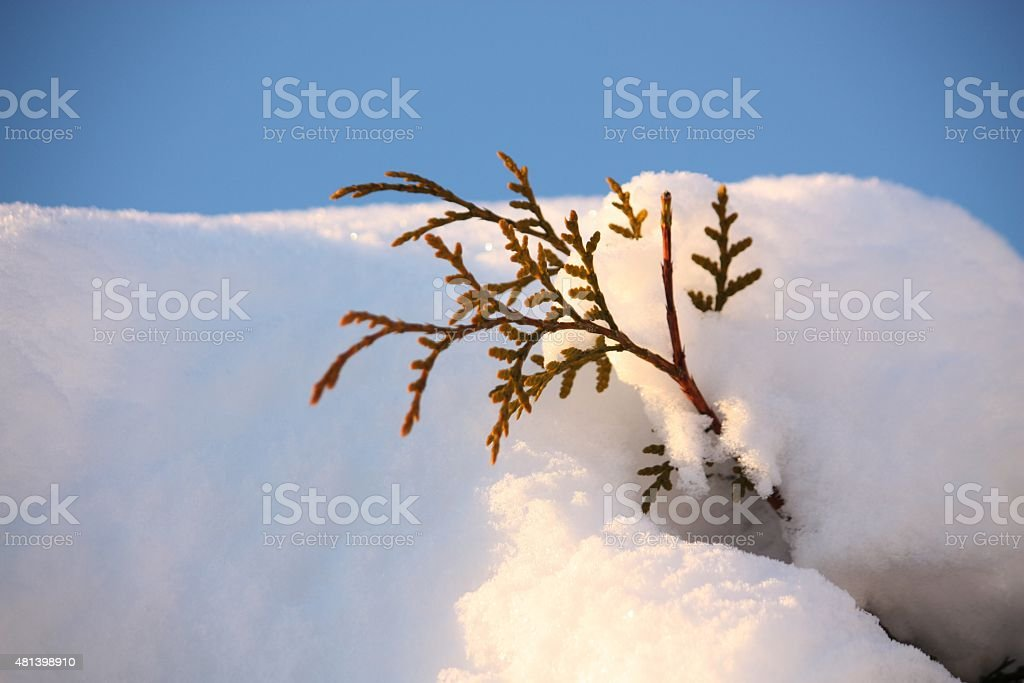 Thuja twig in snow stock photo
