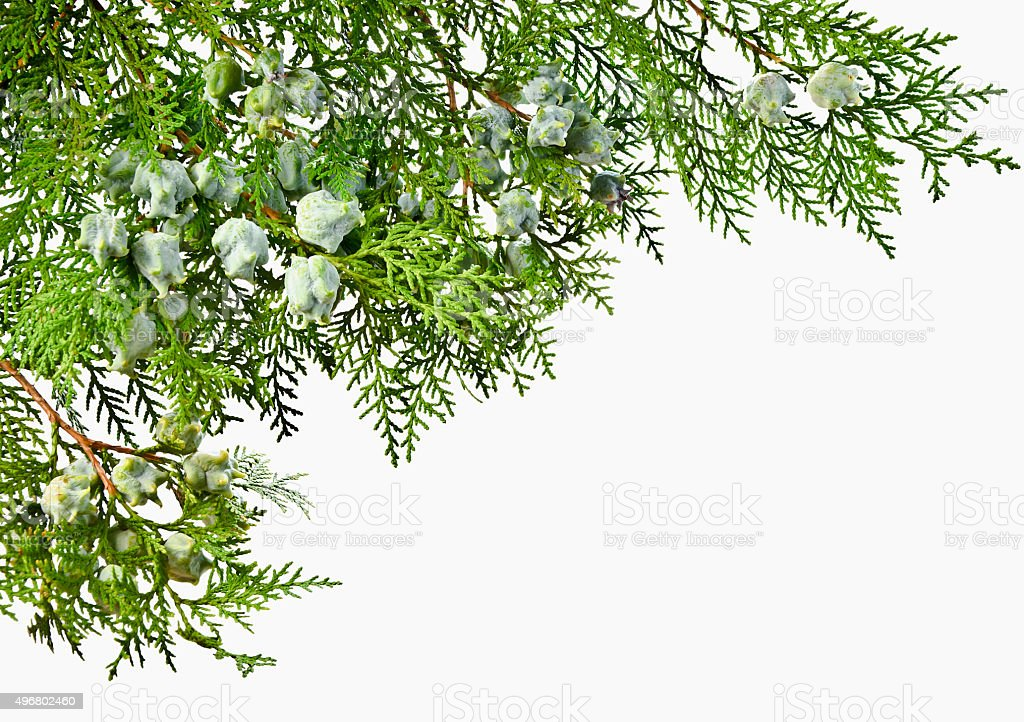 Thuja twig with fruit on a white background. stock photo
