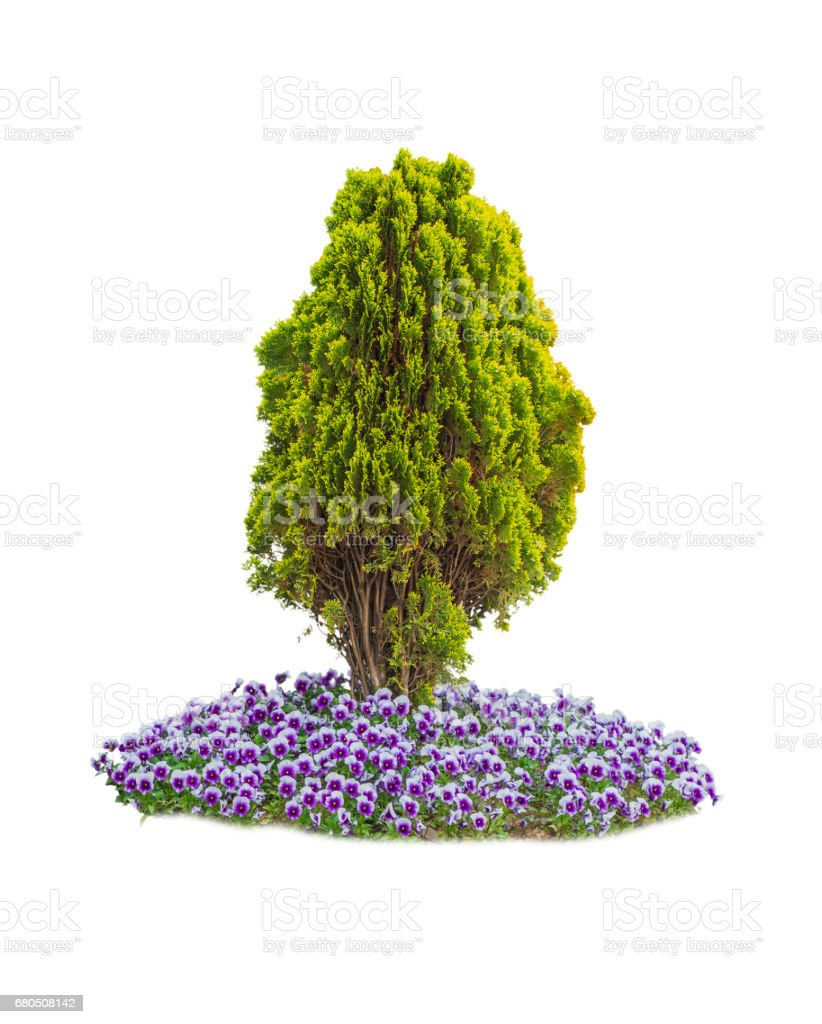 Thuja with violet stock photo