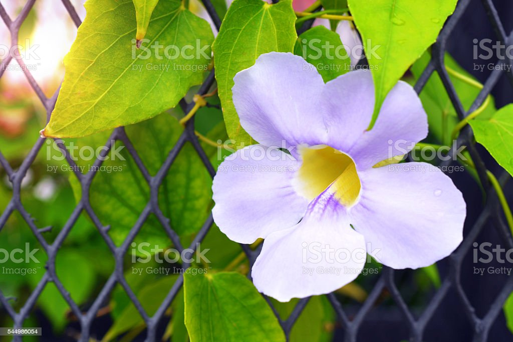 Thumbergia laurifolia flower stock photo