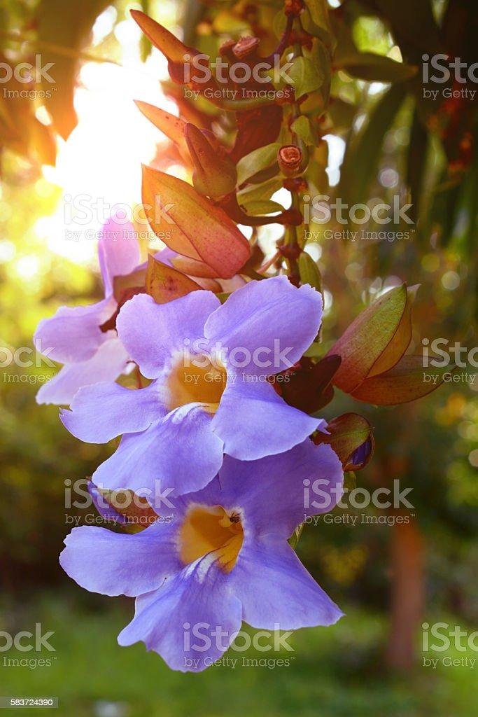 Thumbergia laurifolia flower. stock photo