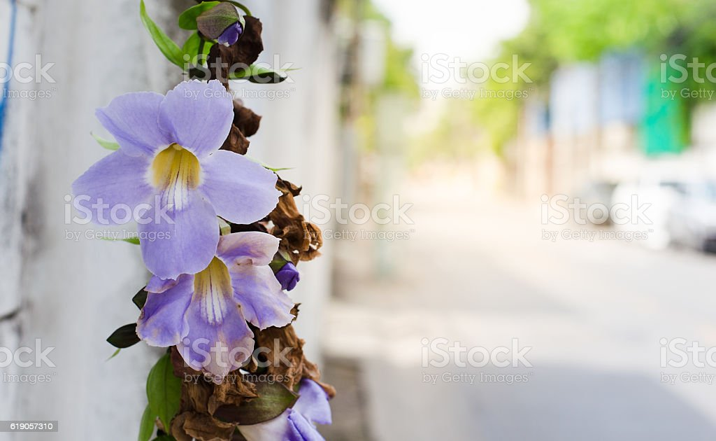 Thunbergia grandiflora flowers side the road stock photo